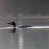 20110414-twin lakes loon