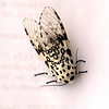 Giant Leopard Moth found outside of Rosse.  One cool bug, no?